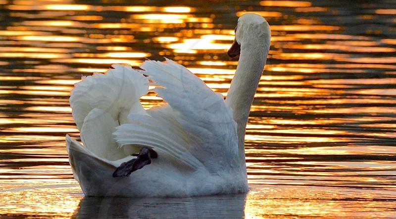 Swans Birds Animals Lake water sunset reflection photo