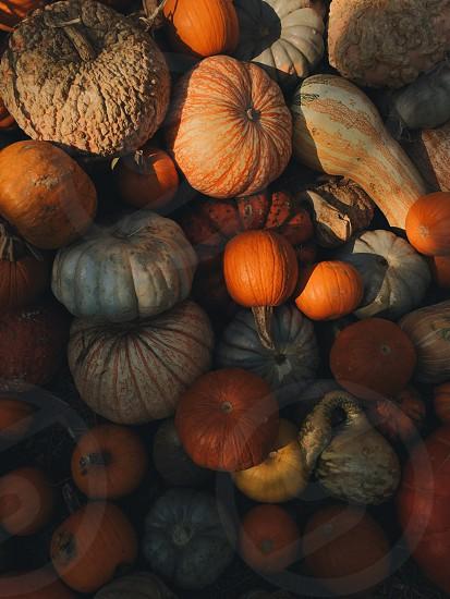 Pumpkins squash gourds fall photo