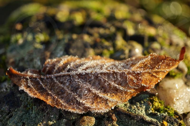 Frozen Leaf photo