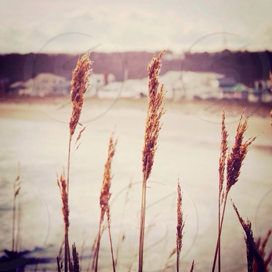 ripe wheat photo