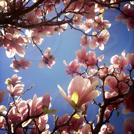 Pink blossoming tree photo