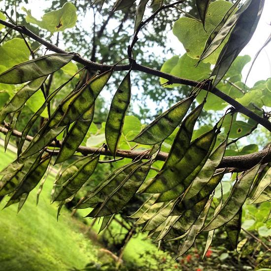 green pea pods photo