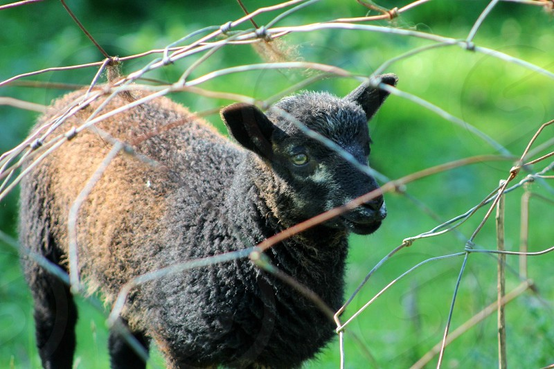 Soft black lamb against the barbed wire photo