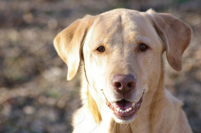 Yellow Lab Labrador Dog photo