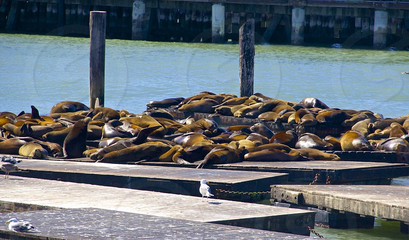 Sea lions soaking up the sun out at Pier 39.  photo