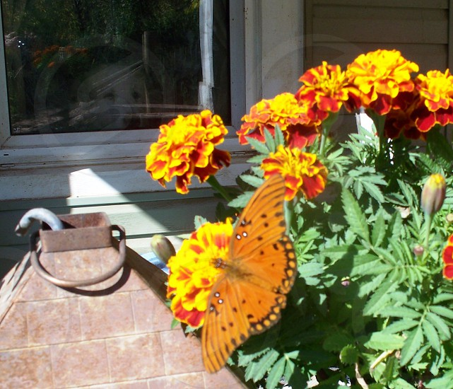Dog in window butterfly in Marigold sunshine country porch photo