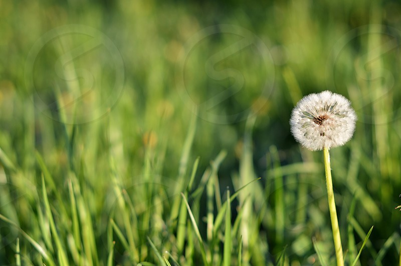 Dandelion in the morning in green grass. photo