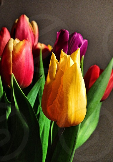 red yellow purple tulip floral arrangement photo
