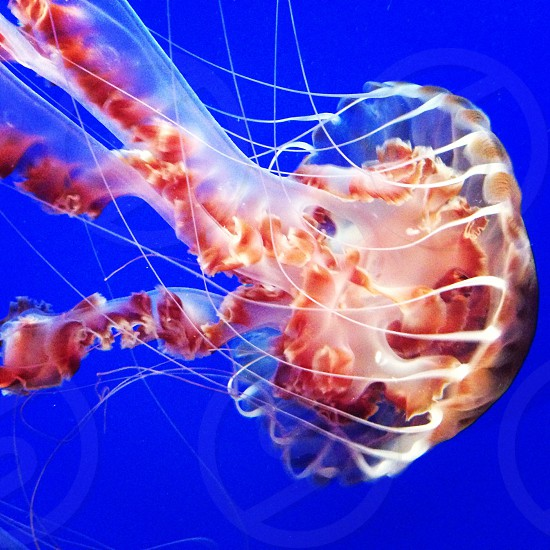 brown jelly fish photo
