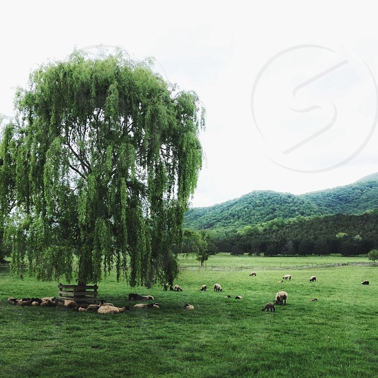 green deciduous tree with drooping field in green field with assorted sheep photo
