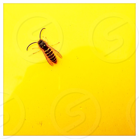 A Wasp on a yellow Background  photo