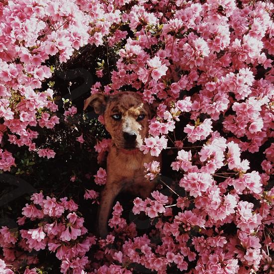 brown dog behind pink flower  photo