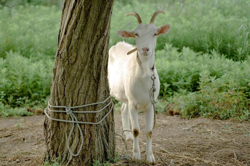 white goat tied to a tree photo