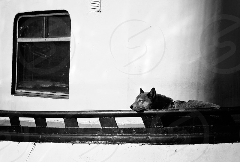 Black and white shot of a dog napping in the afternoon sun on the railing of a boat in Amsterdam photo