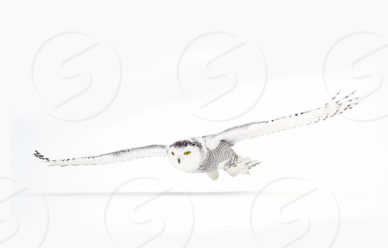 Snowy owl (Bubo scandiacus) hunting over a snow covered field in Canada photo
