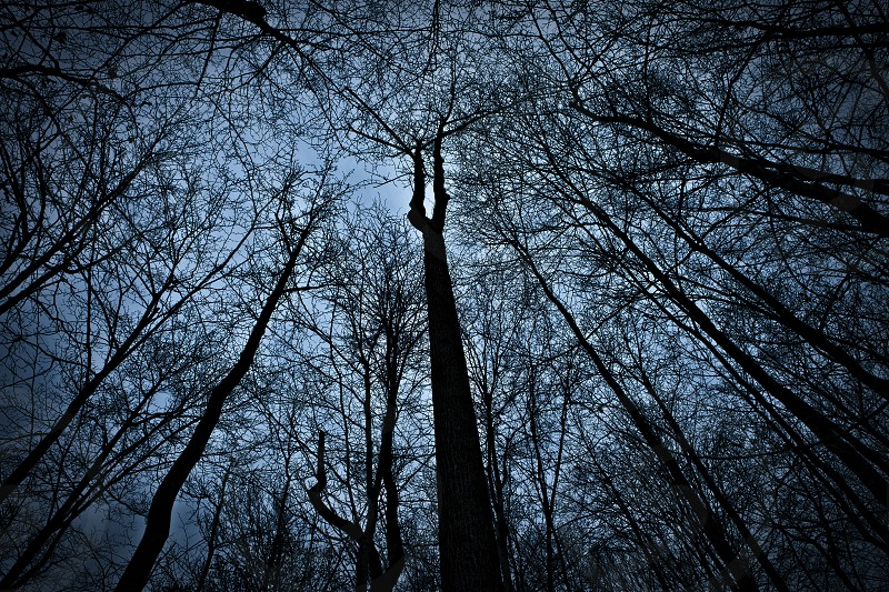 Tall Trees in a forest photo