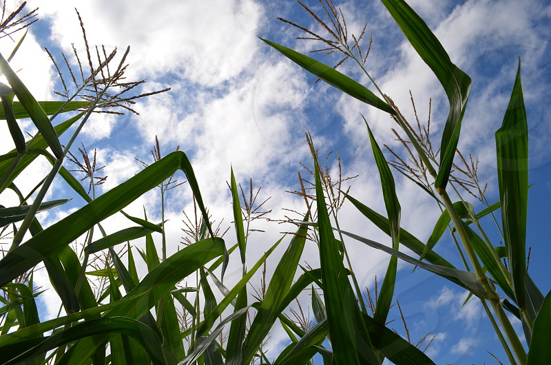 Green corn field blue sky white clouds photo