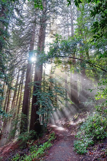 Huddart Park Woodside CA sun rays forest redwood trees majestic beautiful green trees branches path hiking trails daylight flora fauna nature landscape  photo