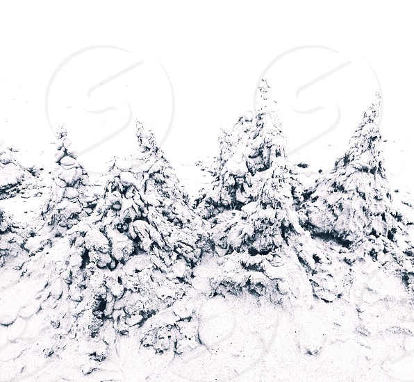 pine trees covered with snow photo
