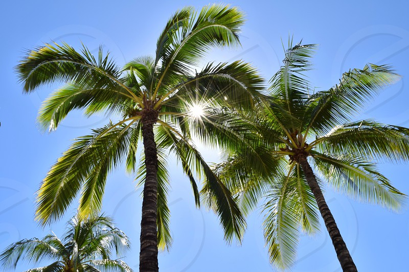 Palm trees and perfect weather; this is Hawaii. photo