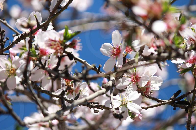 shallow depth of field photo of cherry blossom photo