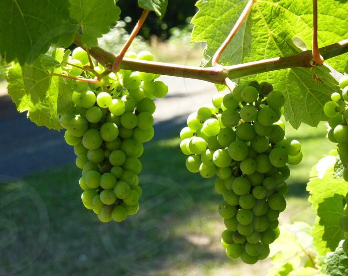 pinot noir grapes ripening photo