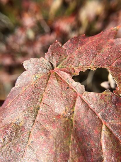 Fall leaf color change pigmentation  photo