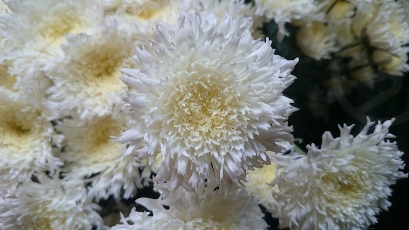 White - Flower photo