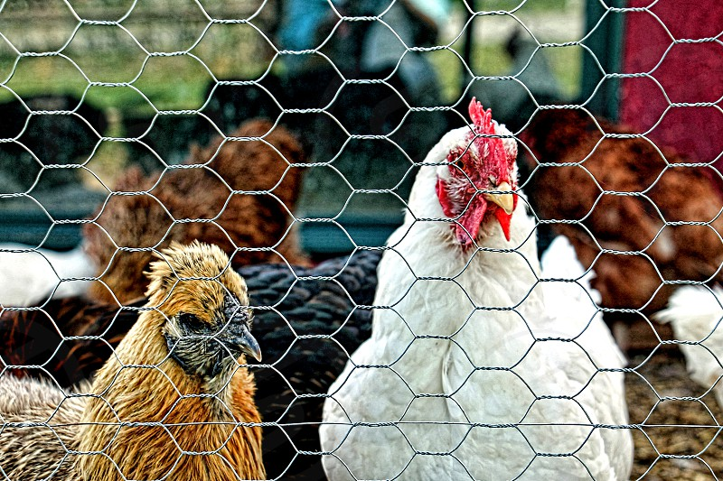 Two chickens peeking through chicken wire fence photo