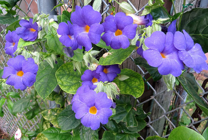 "Thunbergia battiscombei: ""Blue Clock Vine"" photo"