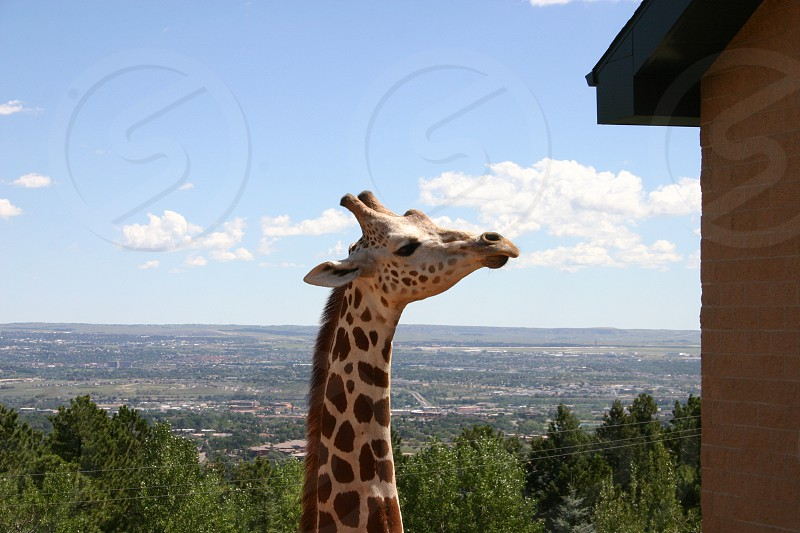 Giraffe head peering up in the air with Colorado Springs and the surrounding valley in the background. photo