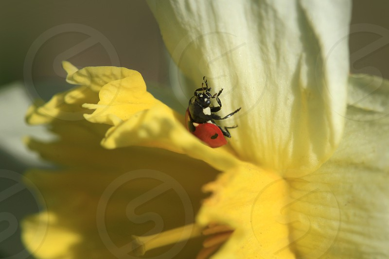 ladybug sitting on spring flower photo