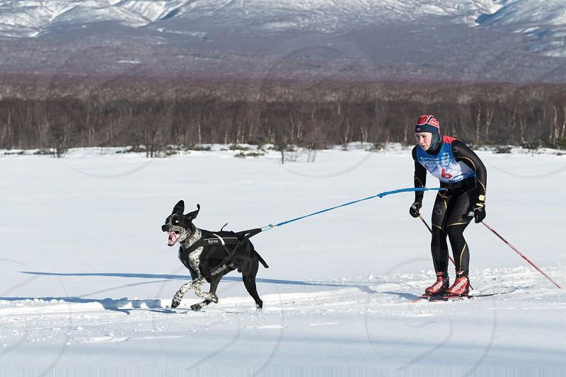 PETROPAVLOVSK-KAMCHATSKY KAMCHATKA PENINSULA RUSSIA - DECEMBER 10 2016: Skijor races - competition for Cup of Kamchatka Region. Sportswoman skier-racer Natalia Orekhova and a dog named Geyser. photo