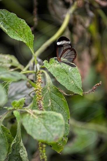 Glasswinged Butterfly (Greta oto) photo