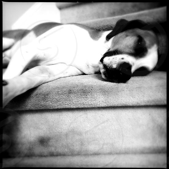 lazy dog photo