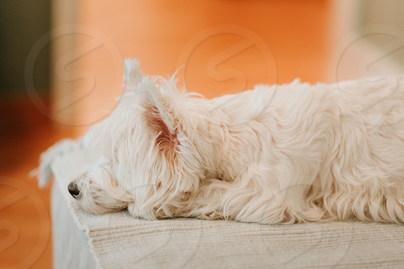 West terrier lying on the couch photo