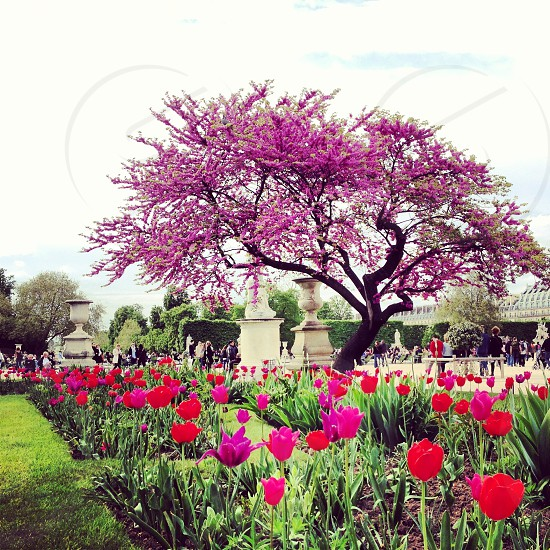 rose field with purple flower tree photo