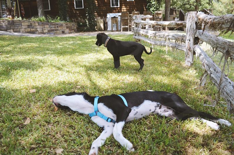 Dogs play in backyard grass. photo