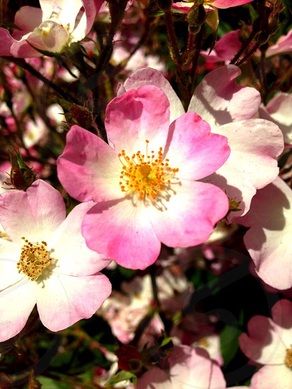 close-up photography of pink and white petaled flower photo