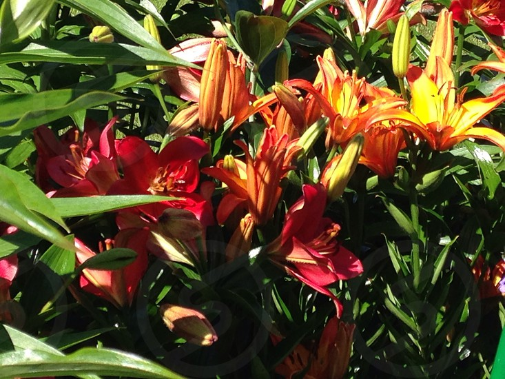 Lilies in the garden  photo