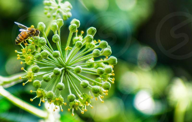 green round flower with honeybee photo