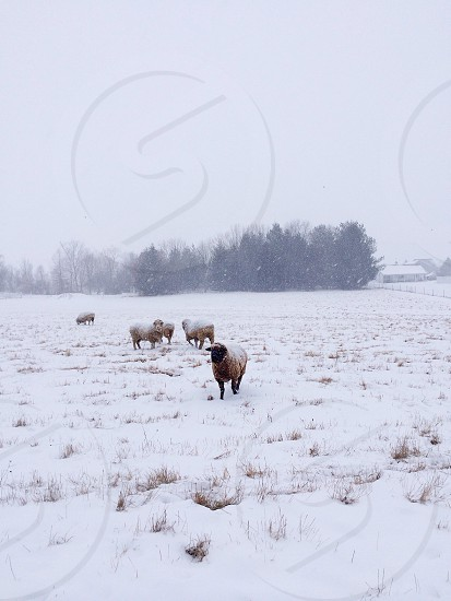 pack of sheep photo