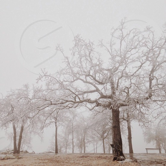 winter trees with branches covered in snow in a large field photo