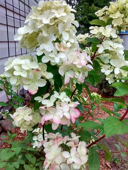 Flowering shrub #flowers #shrub #hortensia #garden photo