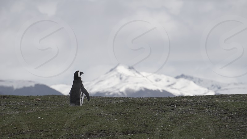 Penguins at Isla Martillo Beagle Channel Ushuaia Patagonia Tierra del Fuego Argentina                    photo