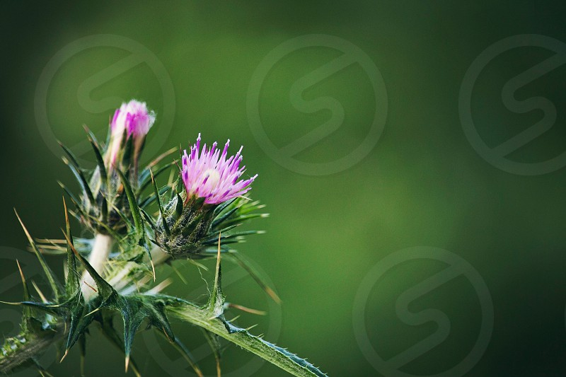 focus photo of pink petaled flower with green leafs photo
