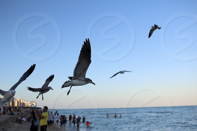miami seagulls photo