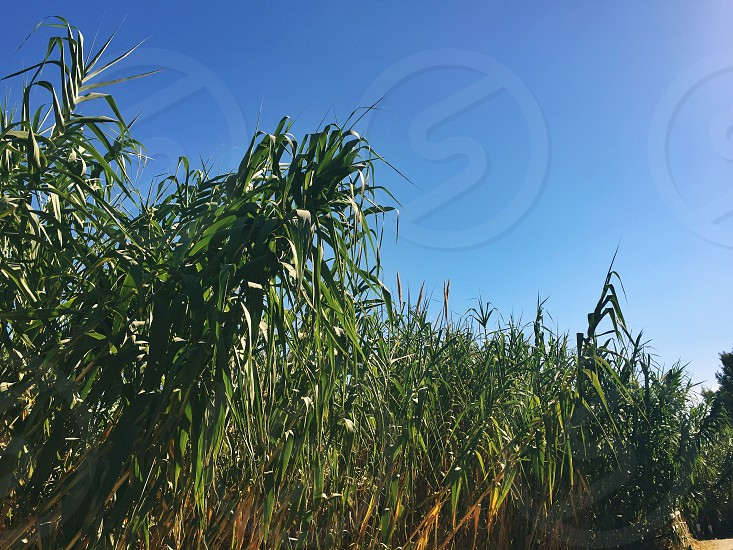 cane thicket bamboo outdoor nobody summer cane photo