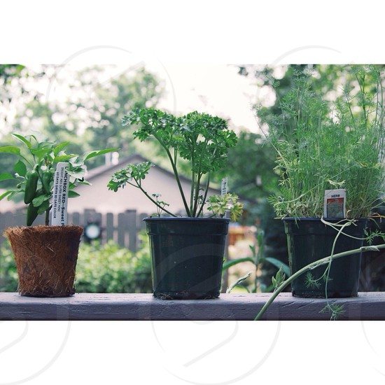 green herbs growing in pots on windowsill photo