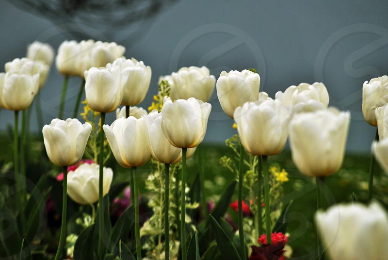 white tulips on green field under blue sky photo